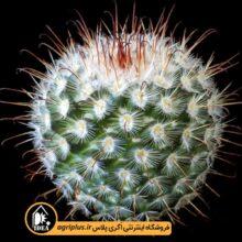 بذر Mammillaria Bombycina بسته ۱۰۰۰ تایی