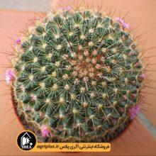 بذر Mammillaria Claviformis بسته ۵۰۰۰ تایی