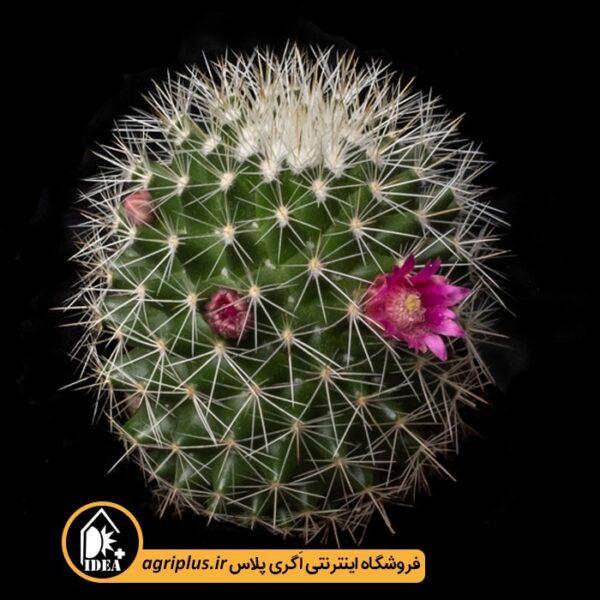 بذر_Mammillaria_Ernesti_v_Albispina_بسته_5000_تایی