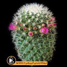 بذر Mammillaria Ernestii بسته ۵۰۰۰ تایی