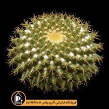 بذر Mammillaria Marksiana بسته ۵۰۰۰ تایی