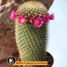 بذر Mammillaria Pilcayensis بسته ۵۰۰۰ تایی