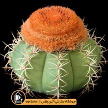 بذر Melocactus Matanzanus بسته ۵۰۰۰ تایی