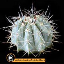 بذر Melocactus Azureus بسته ۵۰۰۰ تایی