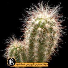 بذر Oreocereus Fossulatus بسته ۱۰۰۰ تایی