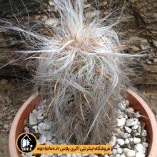 بذر Oreocereus Magnificus بسته ۵۰۰۰ تایی