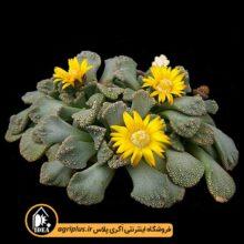 بذر Titanopsis Calcarea بسته ۵۰۰۰ تایی