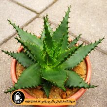 بذر Aloe Broomii بسته ۱۰۰۰تایی