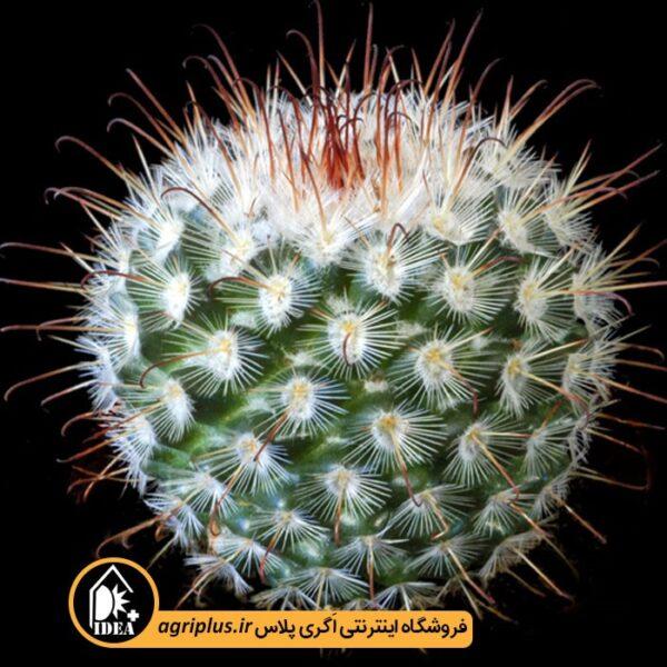 بذر_Mammillaria_Bombycina_بسته_500_تایی