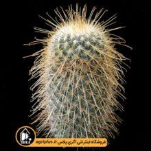 بذر Mammillaria Magnifica بسته ۶۰۰ تایی