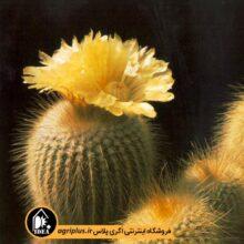 بذر ۵۰۰۰Eriocactus Leninghausii v Longispina تایی