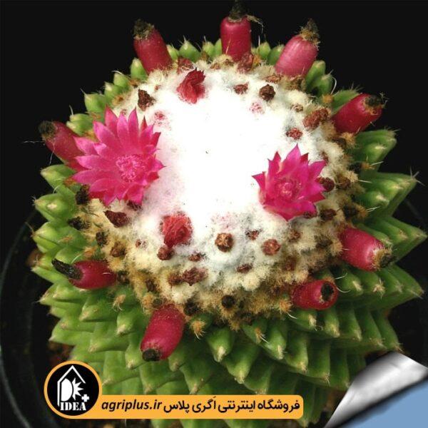بذر_Mammillaria_Toluca_Sinpico_بسته_5000_تایی