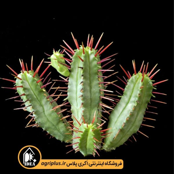 بذر_Euphorbia_Enopla_بسته_5000_تایی