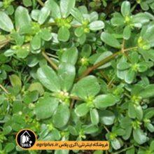 بذر خرفه خوزستان OP بسته ۵۰ گرمی