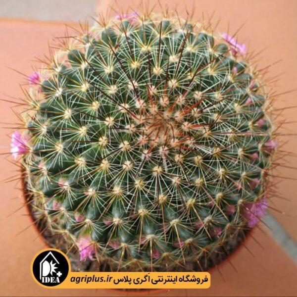 بذر-Mammillaria-Claviformis-بسته-10000-تایی