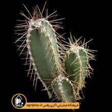 بذر Cereus Forbesii بسته ۱۰۰۰۰ تایی