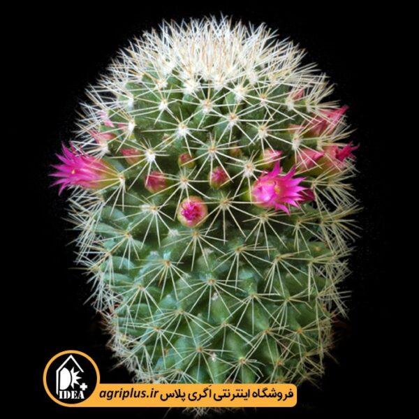 بذر-Mammillaria-Ernestii-بسته-10000-تایی