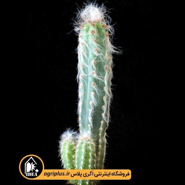 بذر-Pilosocereus-Glaucescens-بسته-10000-تایی