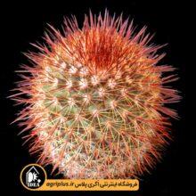 بذر Mammillaria Spinosissima Rubra بسته ۱۰۰۰۰ تایی