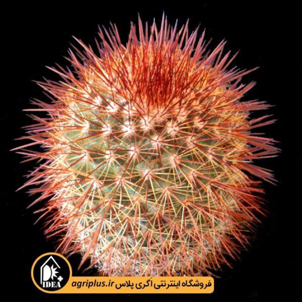 بذر-Mammillaria-Spinosissima-Rubra-بسته-10000-تایی