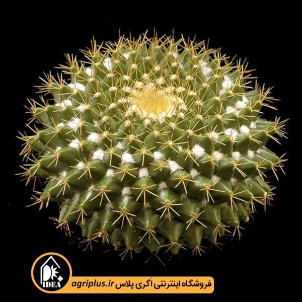 بذر-Mammillaria-Marksiana-بسته-10000-تایی