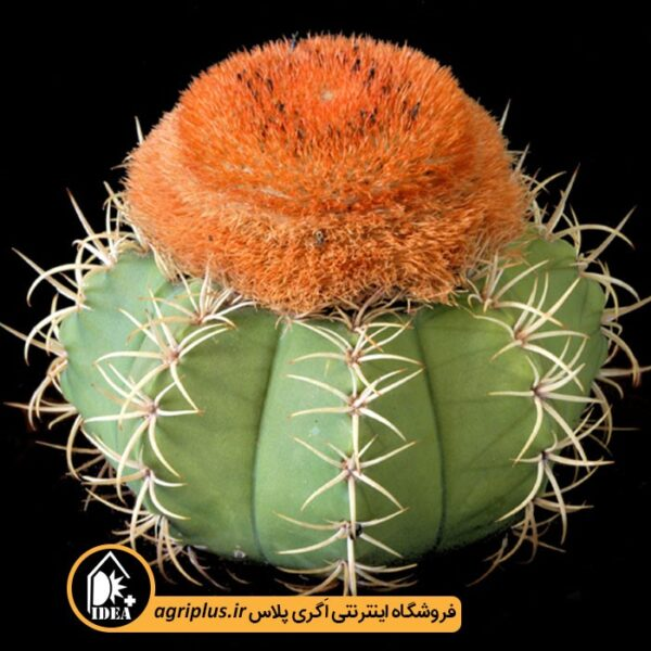 بذر-Melocactus-Matanzanus-بسته-10000-تایی