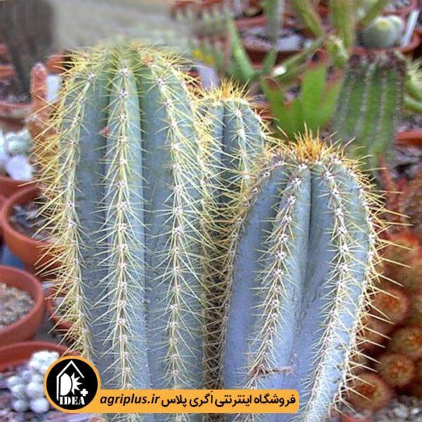بذر-Pilosocereus-Azureus-بسته-10000تایی