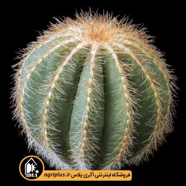 بذر-Eriocactus-Magnificus-بسته-10000-تایی