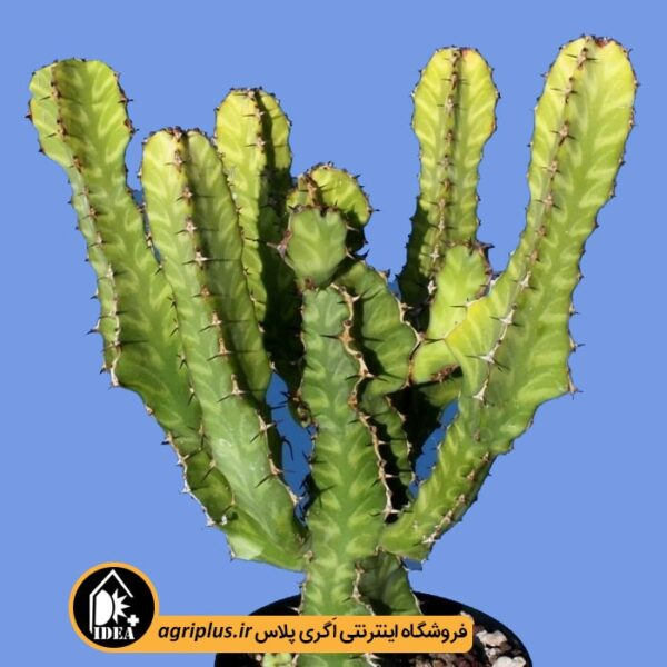 بذر-Euphorbia-Canariensis-بسته-10000-تایی