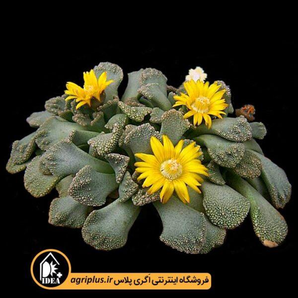 بذر-Titanopsis-Calcarea-بسته-10000-تایی