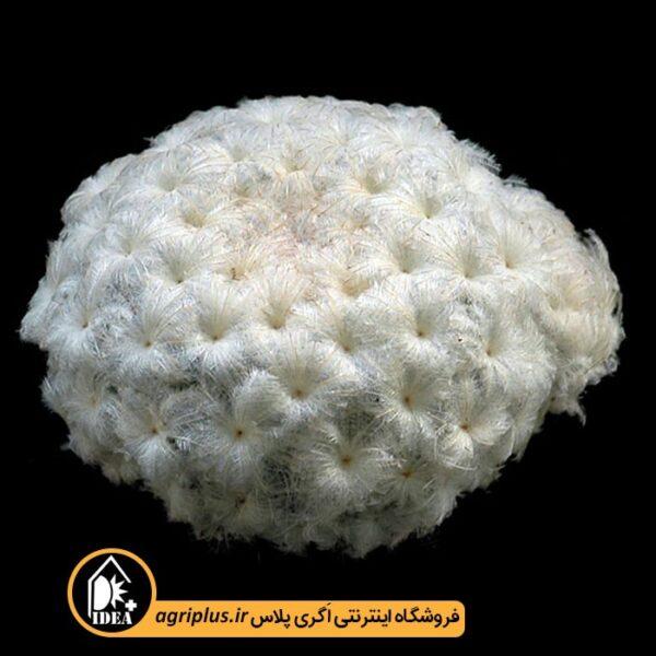 بذر-Mammillaria-Plumosa-بسته-10000-تایی
