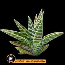 بذر Aloe Variegata بسته ۱۰۰۰۰ تایی