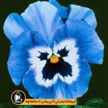بذر بنفشه آبی خالدار F2