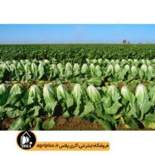 بذر کاهو سیاه سوری دیر رس ۵۸۵ OP